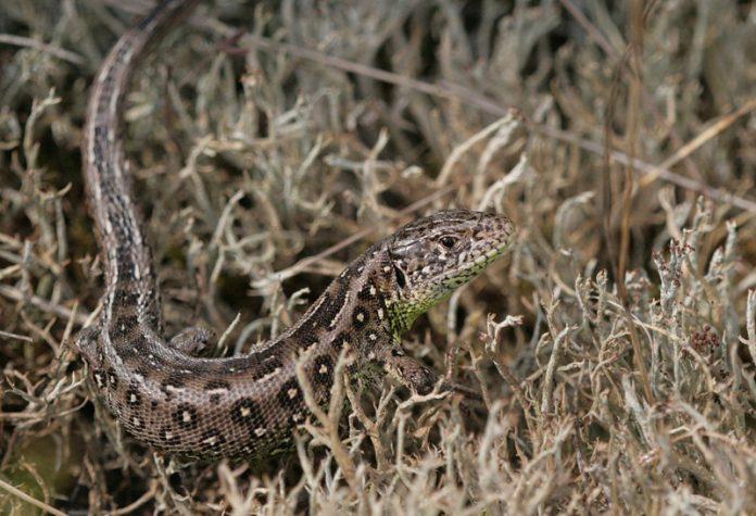 Lizard Lane voor zeldzame dieren